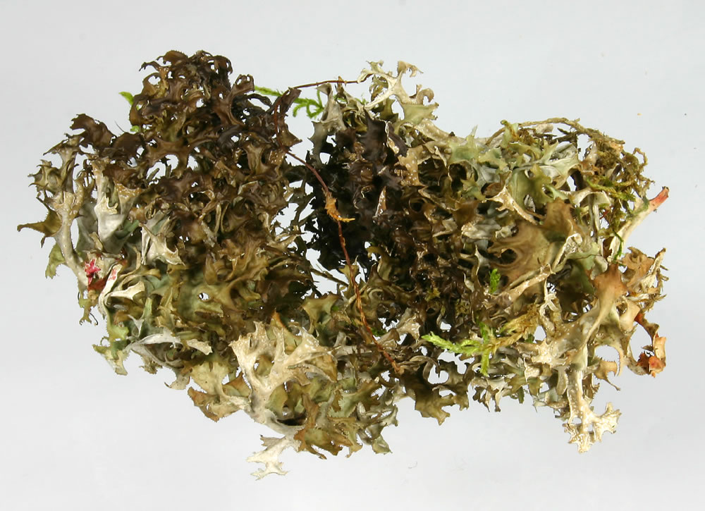 Dried Iceland Moss