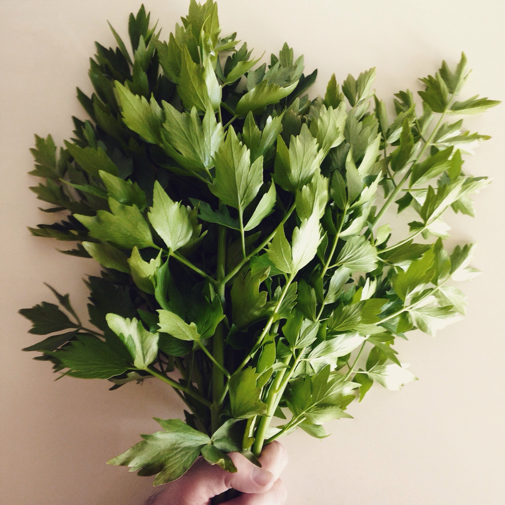 I defy winter and all it stands for with this fistful of lovage from my garden.
